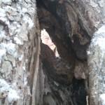 Gamla träd är ett kapital att vara rädd om