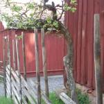 Ett gammalt äppelträd har sin charm