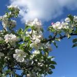Äppelblom i trädgården