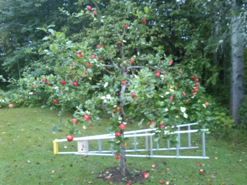 Rätt beskärningsteknik ger starka och långlivade träd