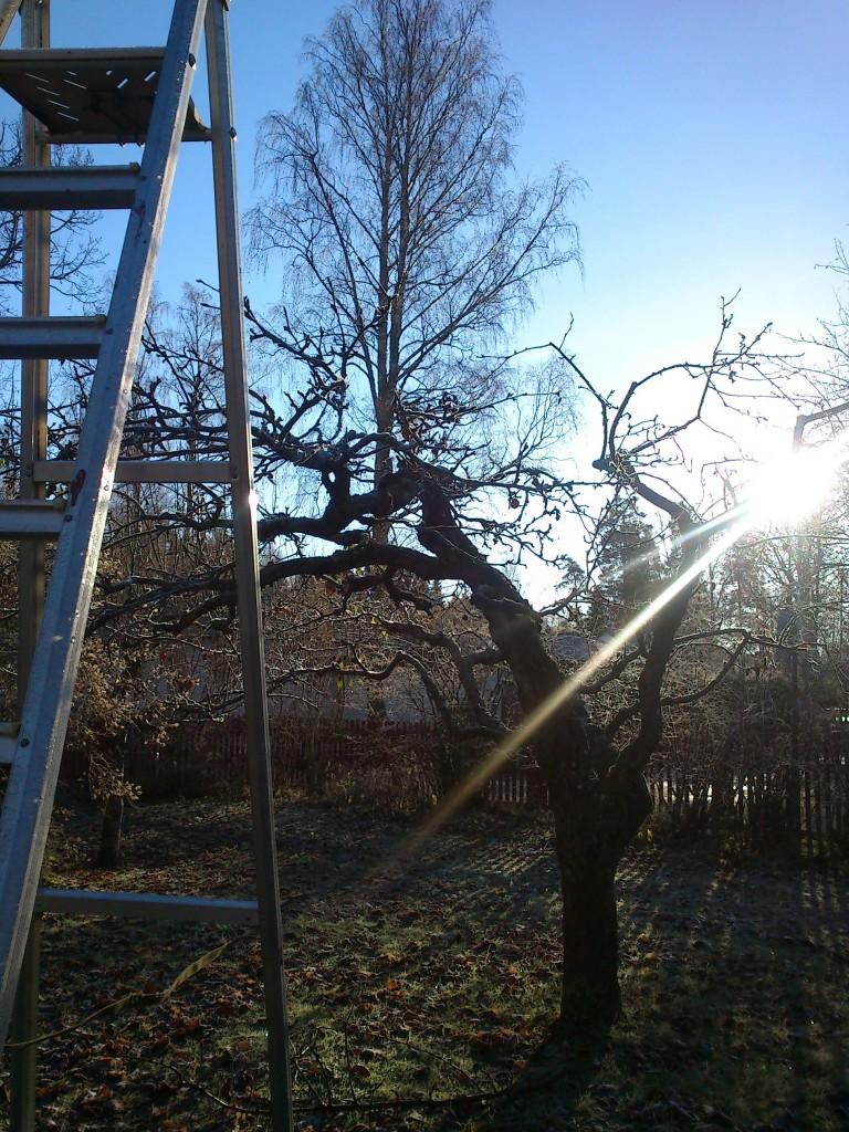 Beskärningsdag i solsken :-)