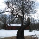 Baggetorpsäpplet som vi tagit ympris av och gjort nya träd