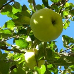 Rätt beskuret äppleträd ger stora fina frukter! Vi kan!