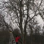 Päronträdet på Karslunds Herrgård