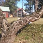 Beskärning av gamla fruktträd
