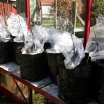 Ymparna i växthuset