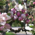 Ett av mina ljuvliga äppleträd!