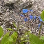 Ormöga planteras