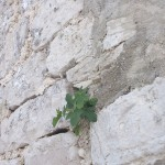 Fikon i mur, Porec - Kroatien