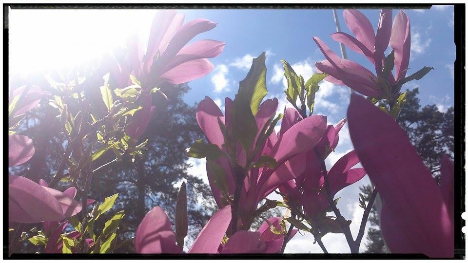 Magnolia ´Susan´ som jag planterade för 25 år sedan