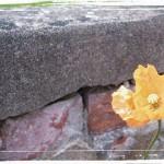 Vallmo efter muren på Karslund