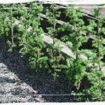 Lärkhäck är planterad i parken