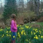 Påskliljorna vid Trädgårdstorpet