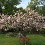 Äppleträdet hos Elisabet