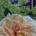 Rosa ´Alchemist´ hemma hos familjen Lannhard, Fjugesta