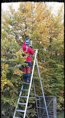 Stina toppar en alltför hög avenbokshäck... !
