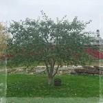 Trädvård Äpple Lanna