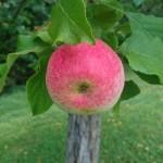 Underbara äpple!