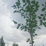 Nyplantering i Garphyttan